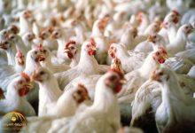 Photo of روسيا تحظر إستيراد الدجاج من المملكة السعودية