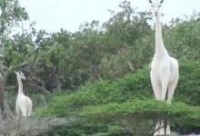 Photo of مقتل الزرافة البيضاء الوحيدة من نوعها في العالم