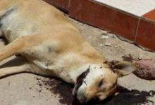 Photo of الكلاب تنهش جسد سائحة بريطانية بدهب