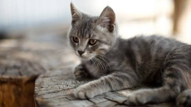 Photo of ببلجيكا قطة تصاب بفيروس كورونا المستجد