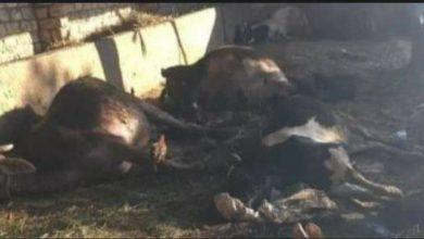 Photo of نفوق 6 رؤوس من الماشية بعد وضع مجهول سما لهم بالدقهلية