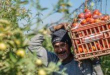 Photo of طرح كميات  كبيرة من الطماطم بالأسواق يسهم في تراجع أسعارها